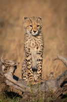 Cheetah cub stands on log looking right