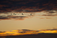Common cranes (Grus grus) in flight at dawn. Gallocanta Lagoon Natural Reserve. Aragon. Spain.