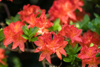 Beautiful blooming red rhododendron flowers