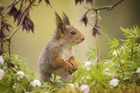 squirrel standing between wood anemone