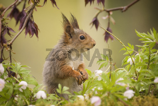 squirrel standing between wood anemone