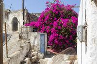 Blühende Bouganvillea auf Kreta, Griechenland