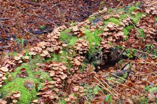 Gemeiner Hallimasch ,Armillaria ostoyae -  honey fungi or Armillaria ostoyae in autumn forest
