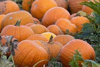 Pumpkins auf dem Feld