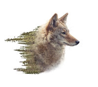 Double exposure of coyote portrait and pine forest
