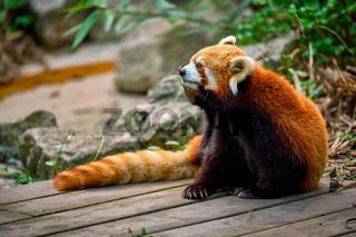 Red panda (lesser panda)