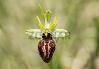 Blühende Spinnen-Ragwurz (Ophrys aranifera)