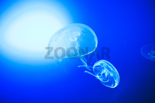 Transparent moon jellyfishes smoothly swimming in deep blue water in San Sebastian, Spain