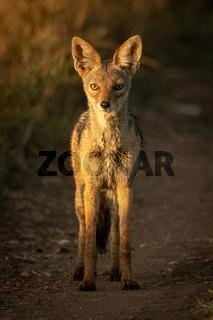 Black-backed jackal stands on track eyeing camera