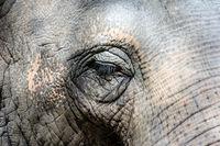 Closeup of an elephant eye