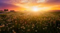 Sonnenaufgang über einer Blumenwiese