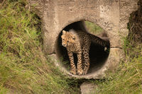 Cheetah cub stands in pipe twisting head