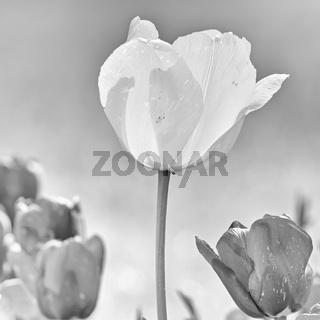 Helle und dunkle Tulpenblüten in schwarz-weiß