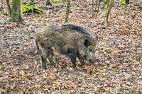 Wildschwein | Wild boar