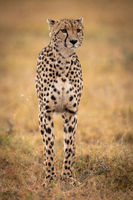 Cheetah stands in grassy plain looking ahead