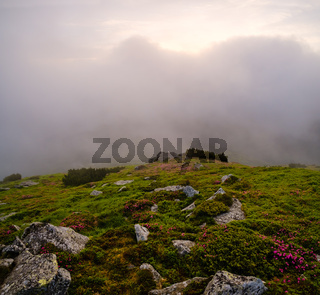 Rhododendron flowers on early morning cloudy Carpathian Mountains