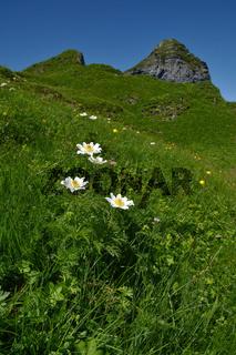 Alpen-Kuhschelle; Alpenküchenschelle; pulsatilla alpina; auf der Kanisfluh im Bregenzerwald;