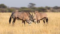 Oryx in the Kalahari desert