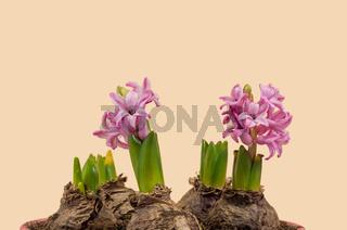 Pink hyacinths on light background