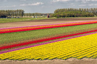 Dutch tulip field along freeway A6 between Lelystad and Emmeloord