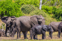 African elephants at watering
