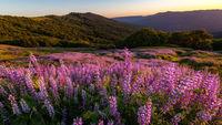 Wild Lupine Field at Sunset