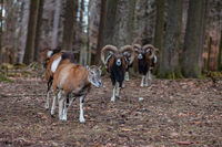 Group of mouflon in the forest