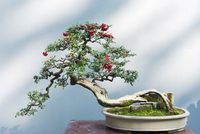 Curved bonsai tree with red fruits
