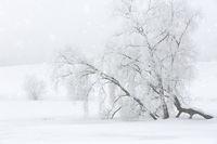 Alter Baum im Nebel mit Raureif bedeckt
