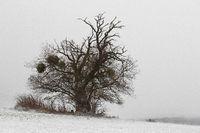 Apfelbaum (Malus)