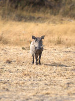 Warthog in the Kalahari
