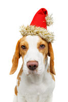 beautiful beagle dog in christmas hat
