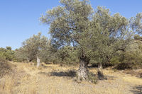 Alter Olivenbaum auf der Insel Kreta, Griechenland