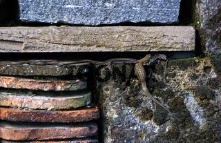 Mauereidechse, Podarcis muralis, wall lizard