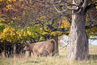 Kuh mit Hörner