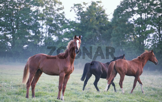 horses on foggy pasture in morning