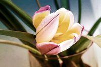 Beautiful yellow Tulip flower in vase close up.
