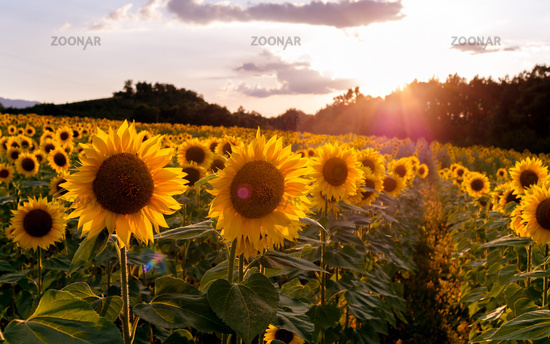 Field of sunflowers. Sunflowers flowers. Landscape from a sunflower farm. A field of sunflowers high