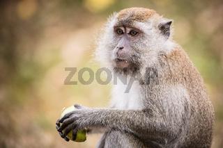 Silver Leaf Monkey in Malaysia