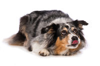Australian shepherd dog lying on white background
