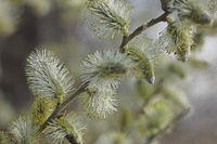 Weide (Salix)