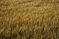 Golden paddy rice field