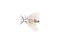 Wood leopard moth Zeuzera pyrina isolated on a white background
