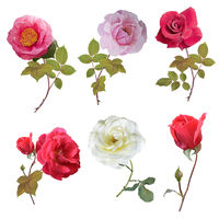 Rose set watercolor