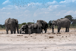Elephant group at a waterhole in Chobe National Park in Botswana