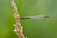 Sympecma fusca auf Kornähre_Libelle