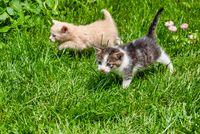 Two Kittens Walking Through the Grass