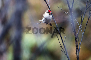 The male Redpoll in breeding plumage