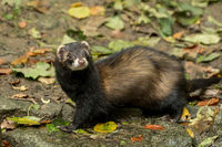 A marten looks directly at the camera