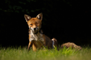 Red fox sitting on the grass against black background